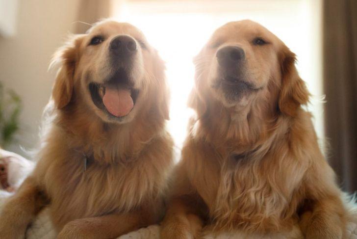 coat Golden Retrievers