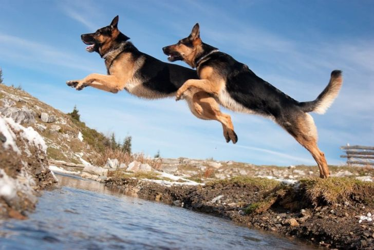 Two German shepherds jump creek