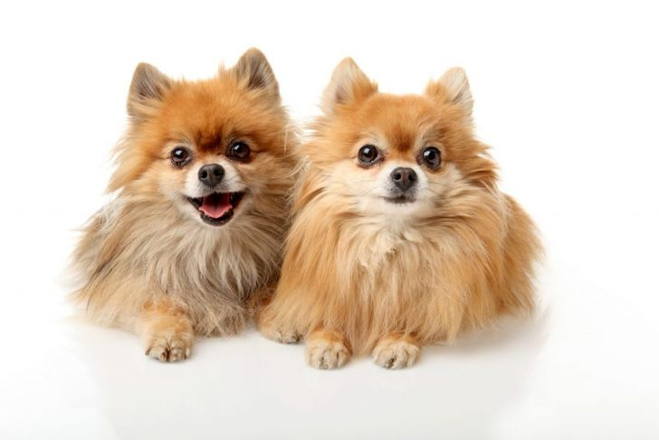 do they get along with other pets German Pomeranians