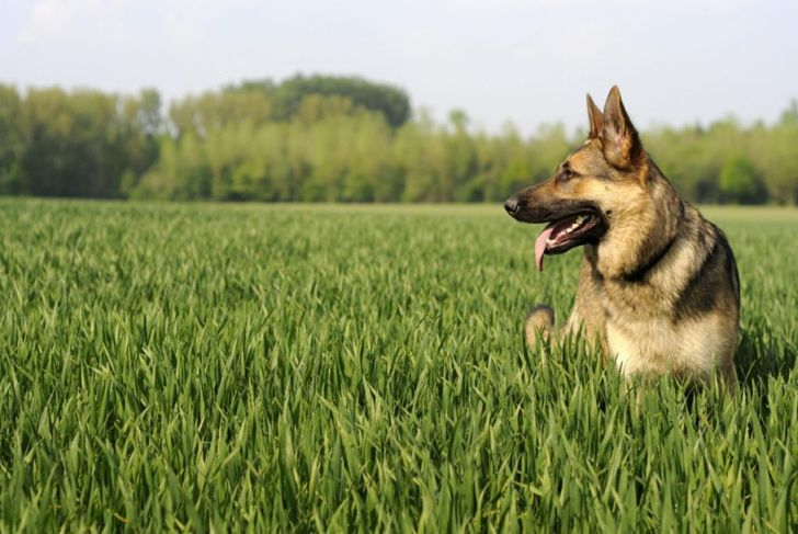 breed German shepherd