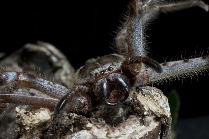 hunting Huntsman Spider