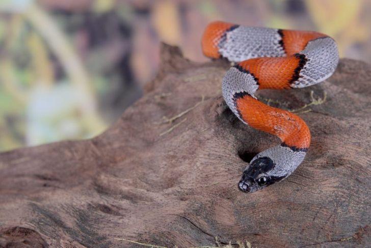coral snake kingsnakes