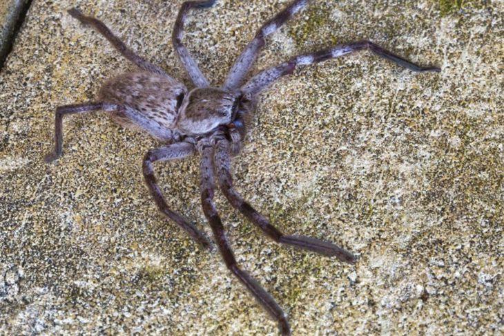 Huntsman Spider venom