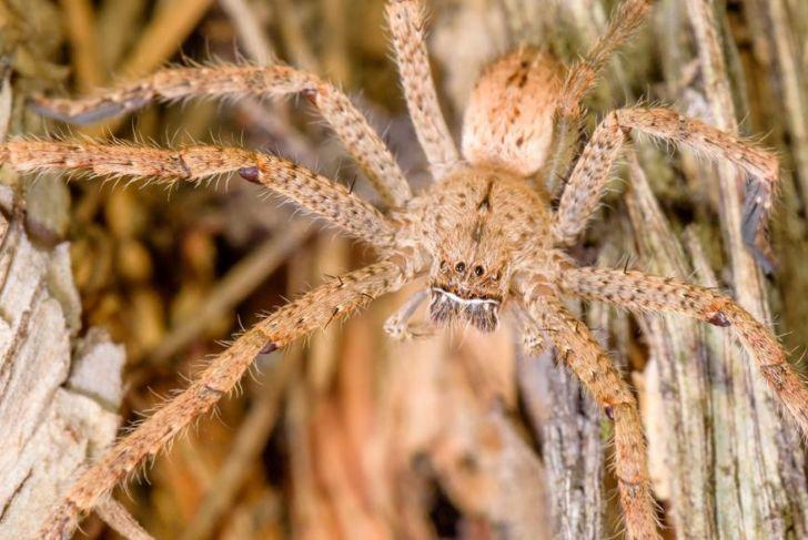 mating Huntsman Spider