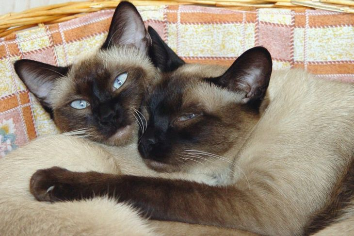 social animals Siamese cats