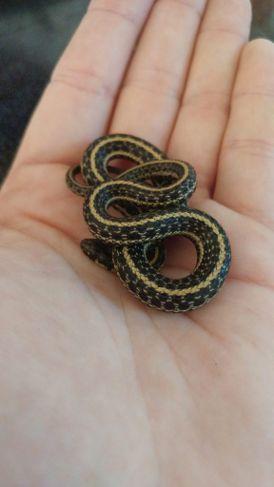 conservation Garter snakes