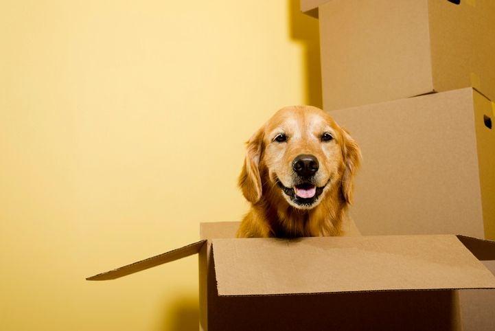 best dog breeds Golden Retrievers
