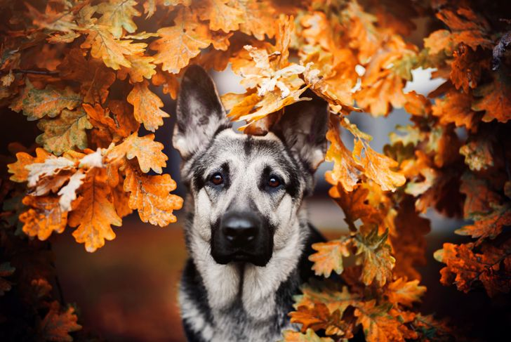 German shepherd leaves