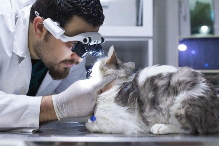 Vet examining a cat's eyes