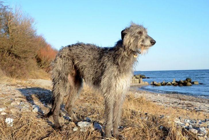 Scottish Deerhound Wiry Coat