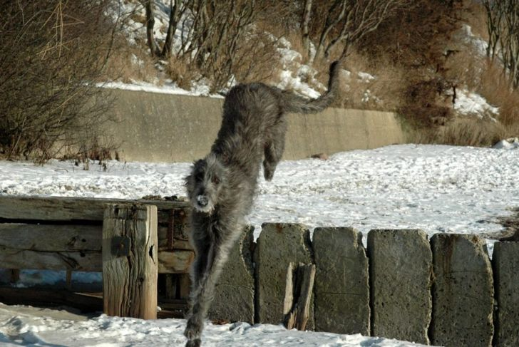 scottish deerhound jumping
