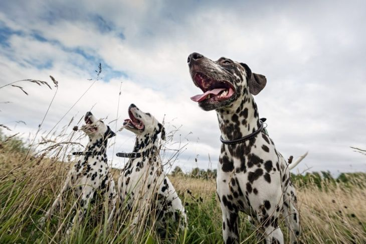 Three Dalmatians in tall grass