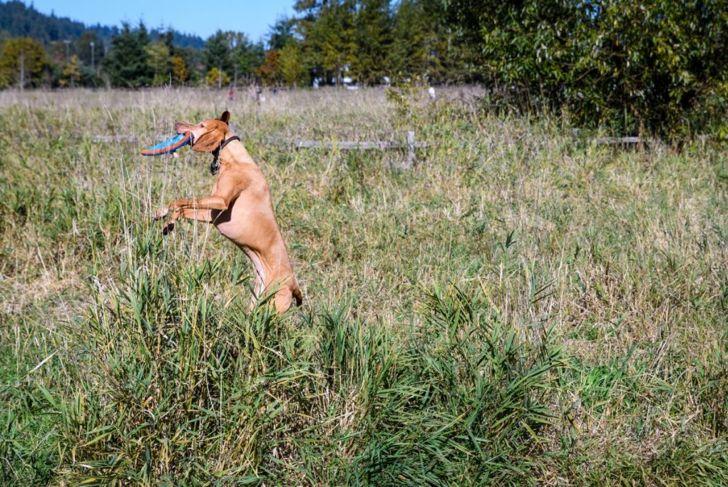 Dog catching blue and orange disc