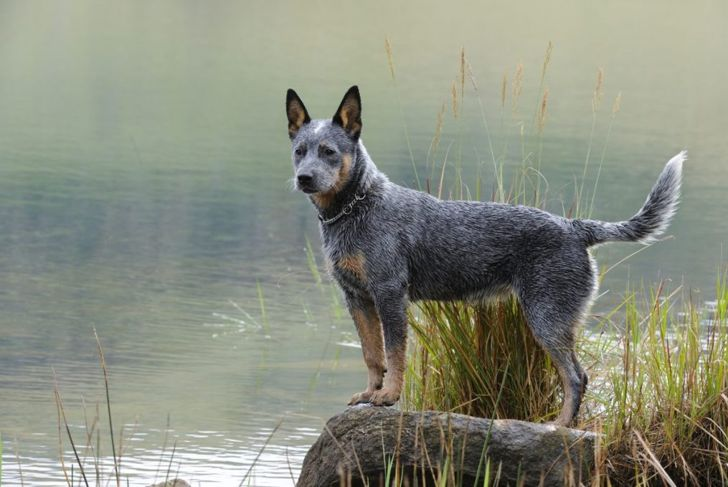 Australian cattle dog by lake