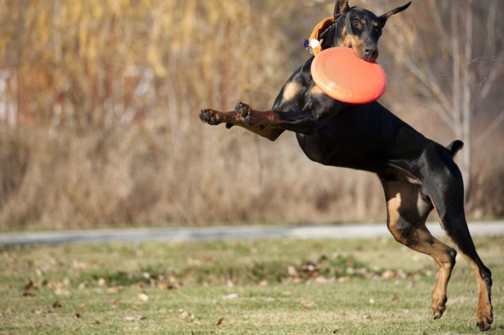 Doberman jumping to catch disc