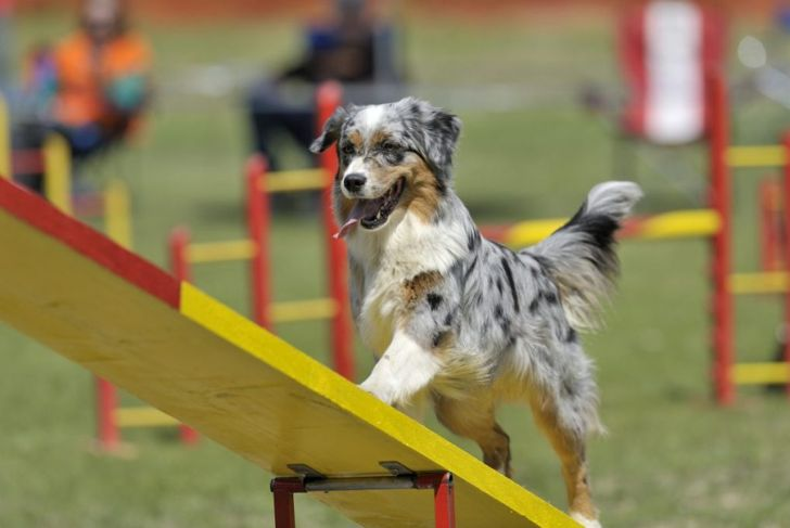 Australian shepherd on agility course