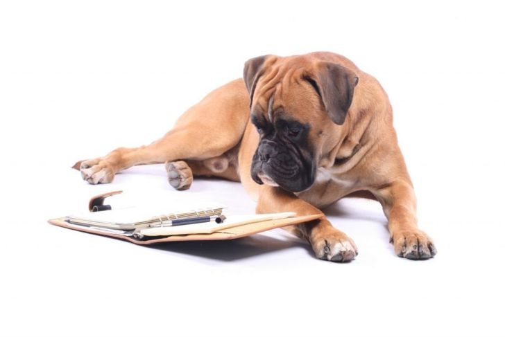 Boxer dog looks at planner