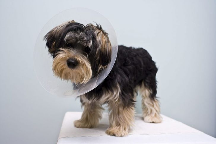Cute puppy wears cone after surgery