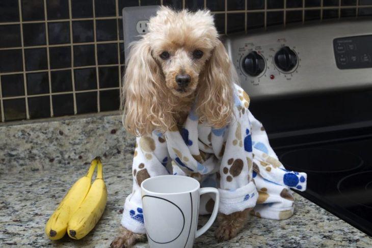 poodle having breakfast