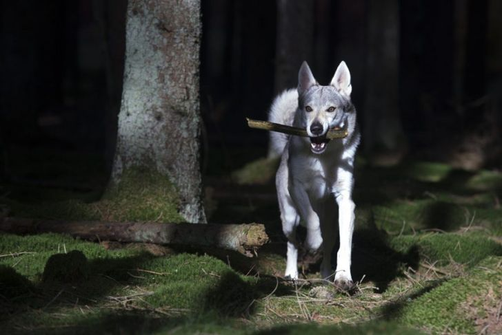 Dog retrieving stick at night
