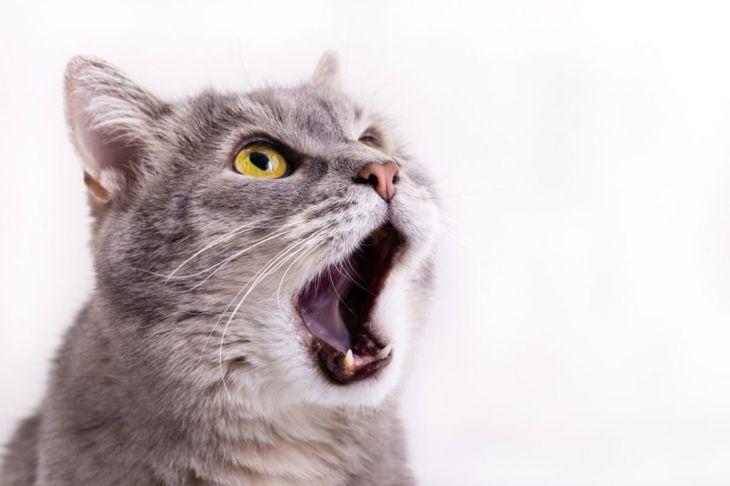 cat meowing at air