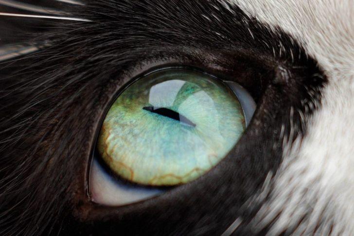 Cat's third eyelid