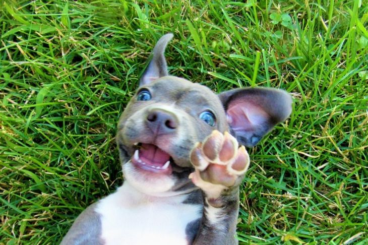 baby pit bull in grass