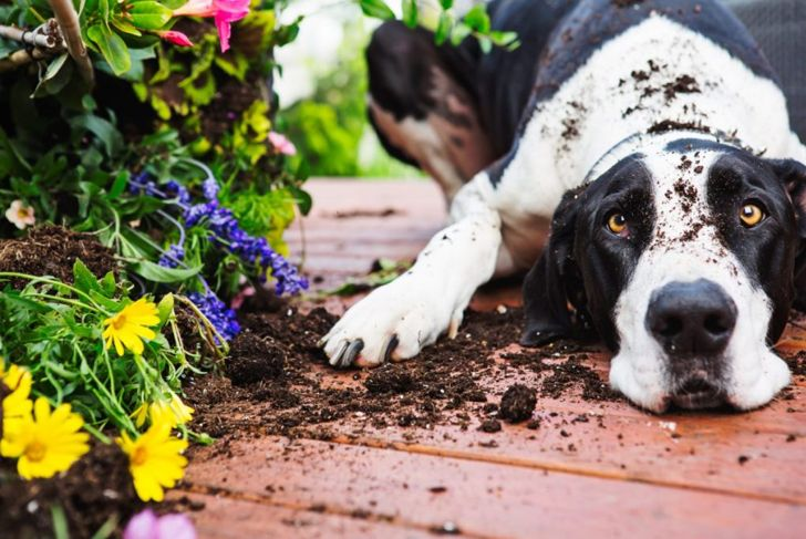 Great Dane covered in dirt