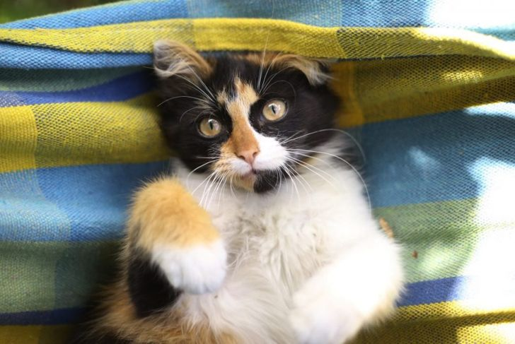 Tortoiseshell kitten in a hammock