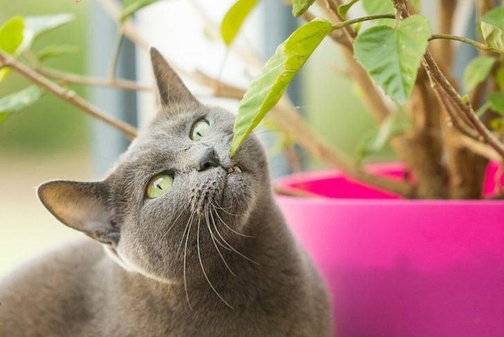 Gray cat smelling leaf