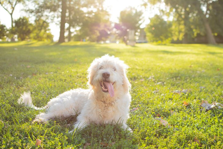 White Labradoodle smiling on grass on a sunny morning