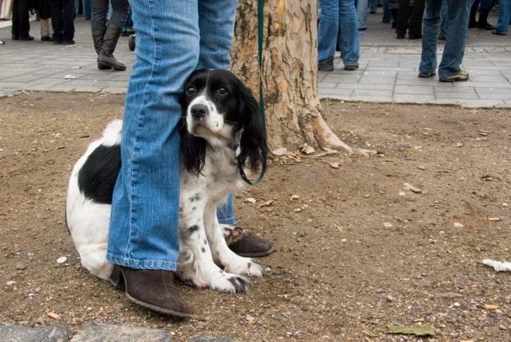 Spaniel hides between person's legs