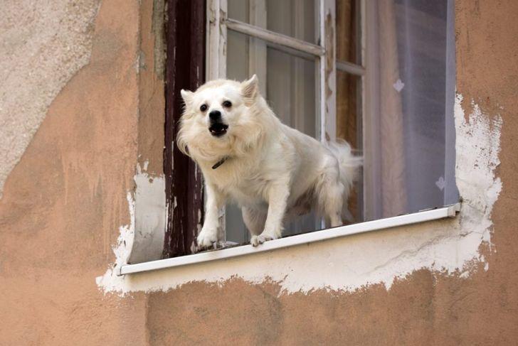Small dog barking open window