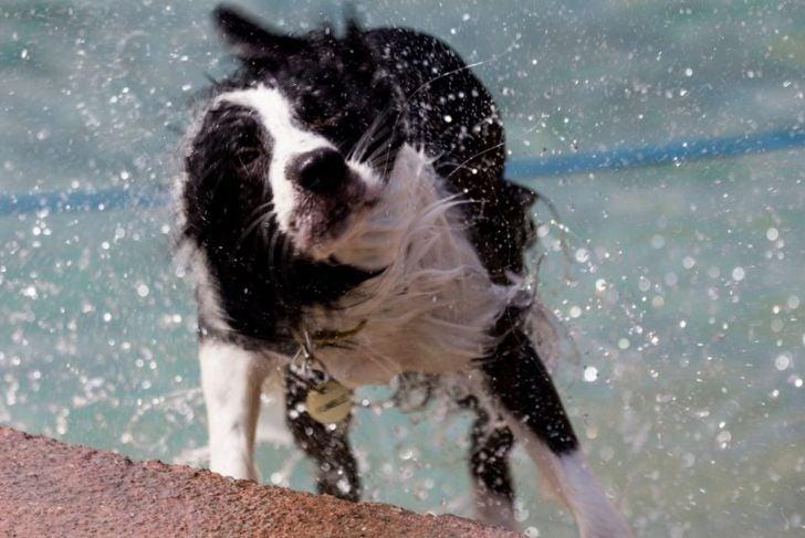Border collie shaking after swim