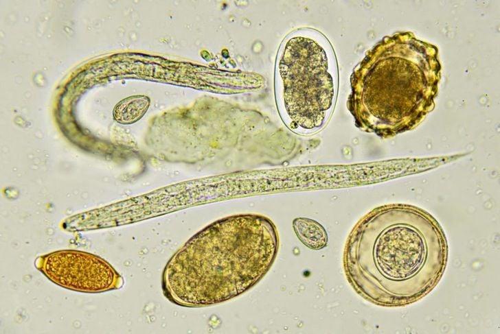 hookworms life cycle eggs larvae