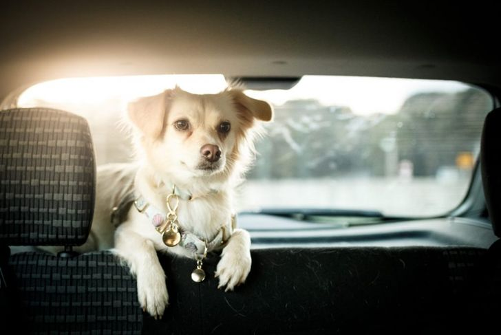Small dog in car backseat