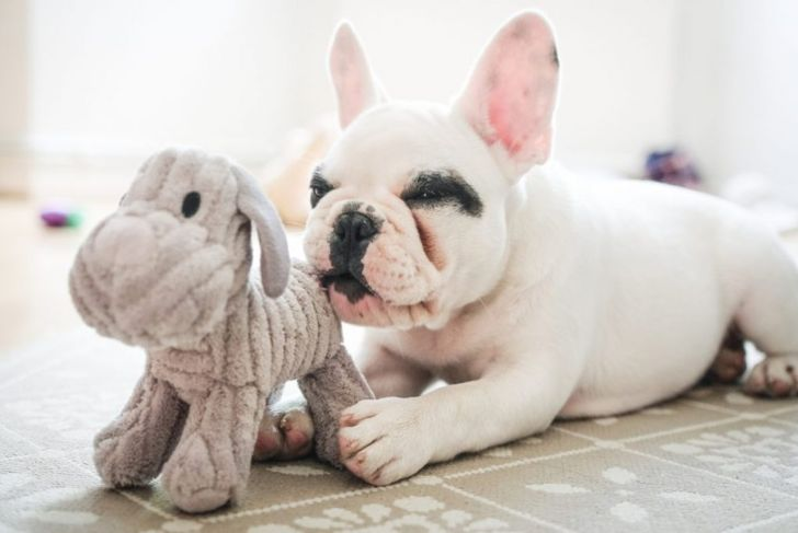 Frenchie puppy with toy