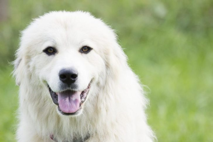 Large, white dogs