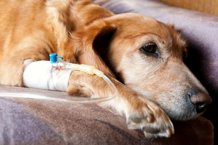 IV fluids treatment dog kidney
