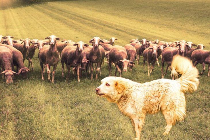 Bred to guard sheep