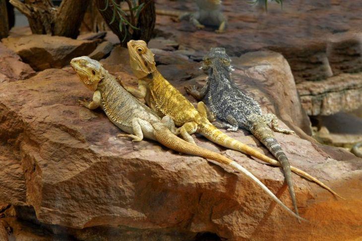lizard heat hiding shade