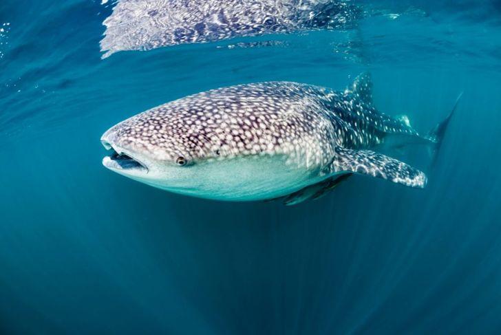 obligate, drown, swim, whale shark