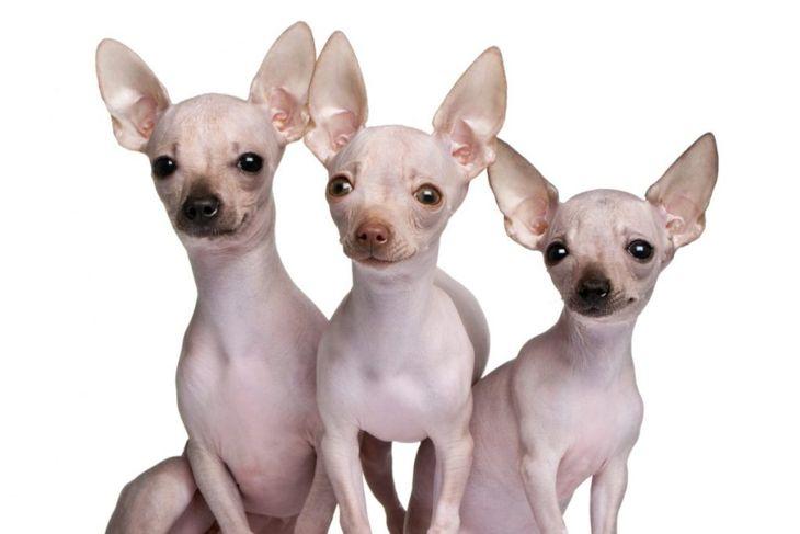 Hairless Chihuahuas