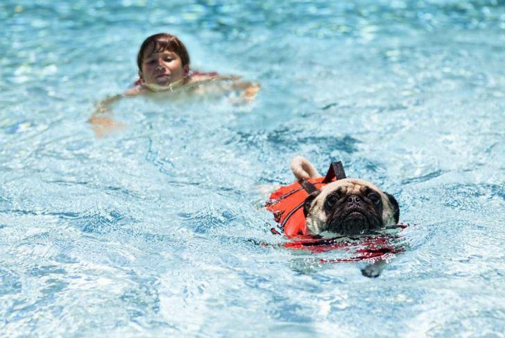 Pug and child swim together