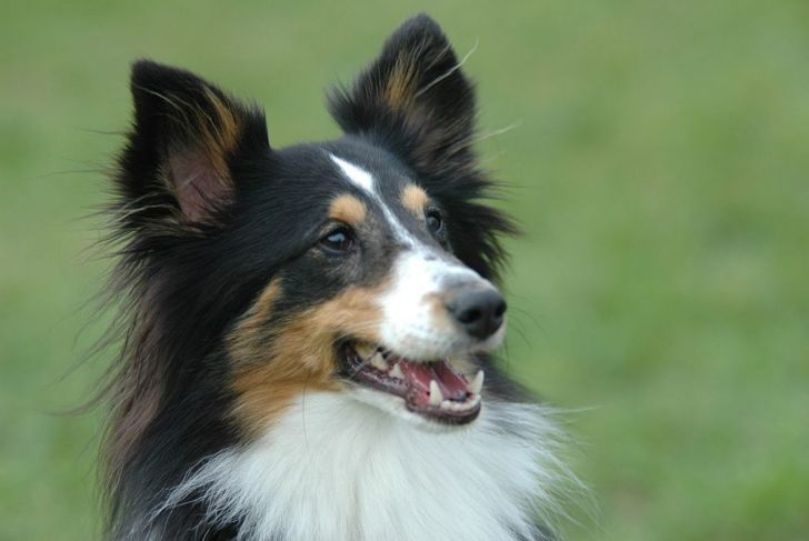 History Miniature Collie