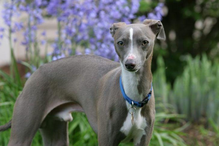 italian greyhound indoor