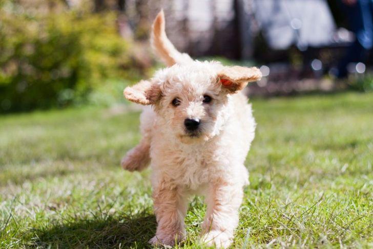 Labradoodle puppy running