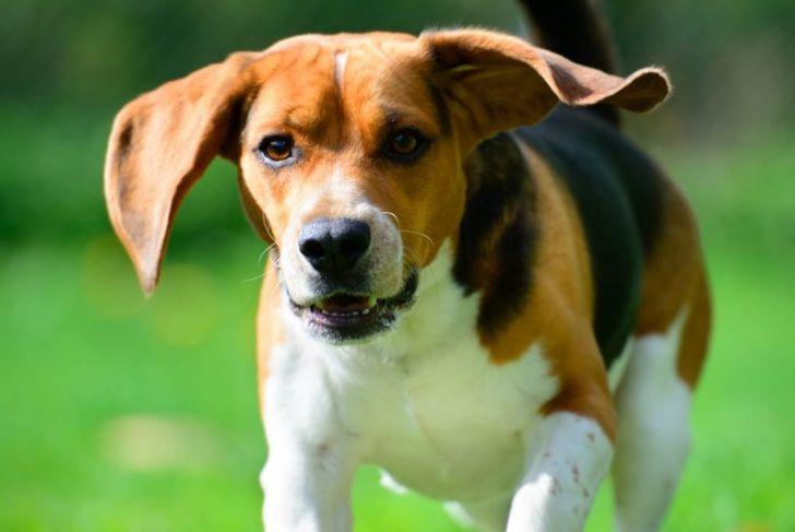 beagle expressive face
