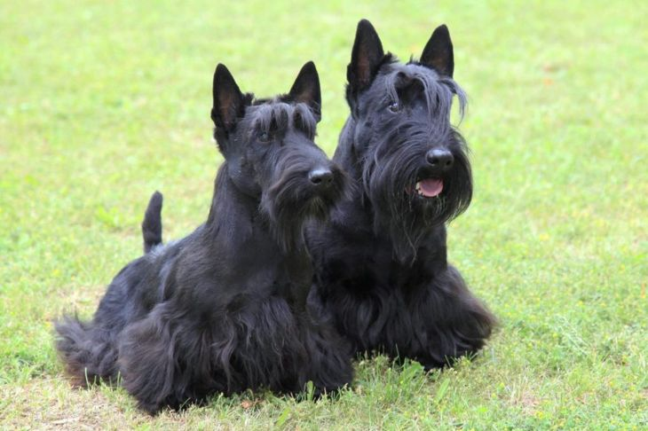 scottish terrier highlands
