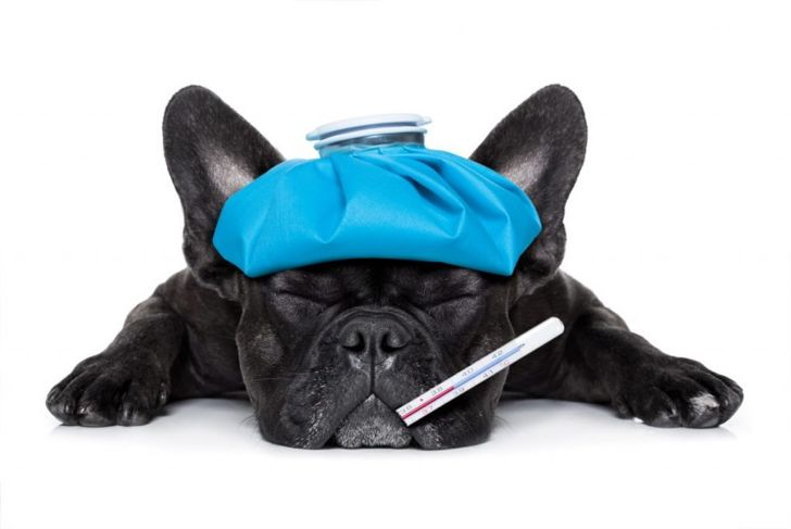 dog fever high temperature illness